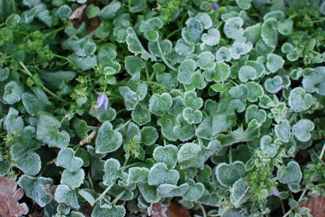 Aubretia covered in frost