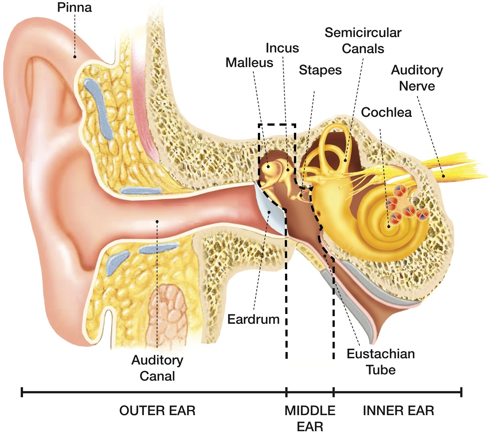Speech Language Pathology Amp Audiology Hearing Disorders Of The Outer Ear