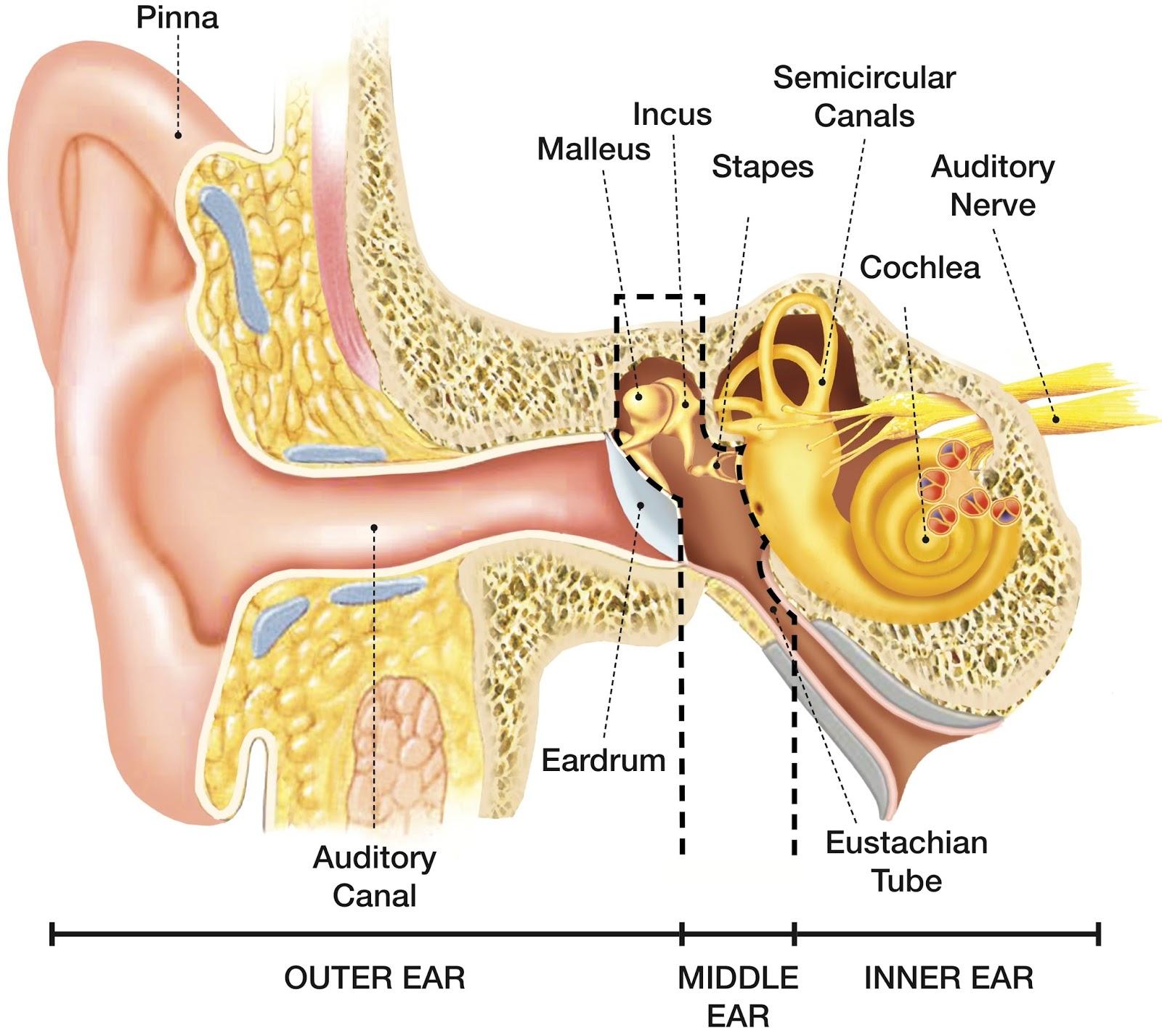Speech Language Pathology Amp Audiology Hearing Disorders