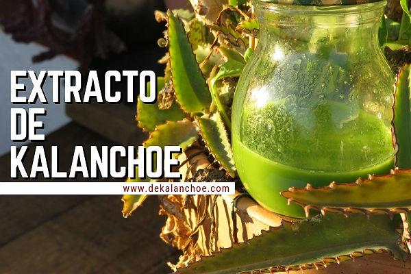 Cómo hacer extracto de Kalanchoe Dagreimontiana en casa dekalanchoe.com