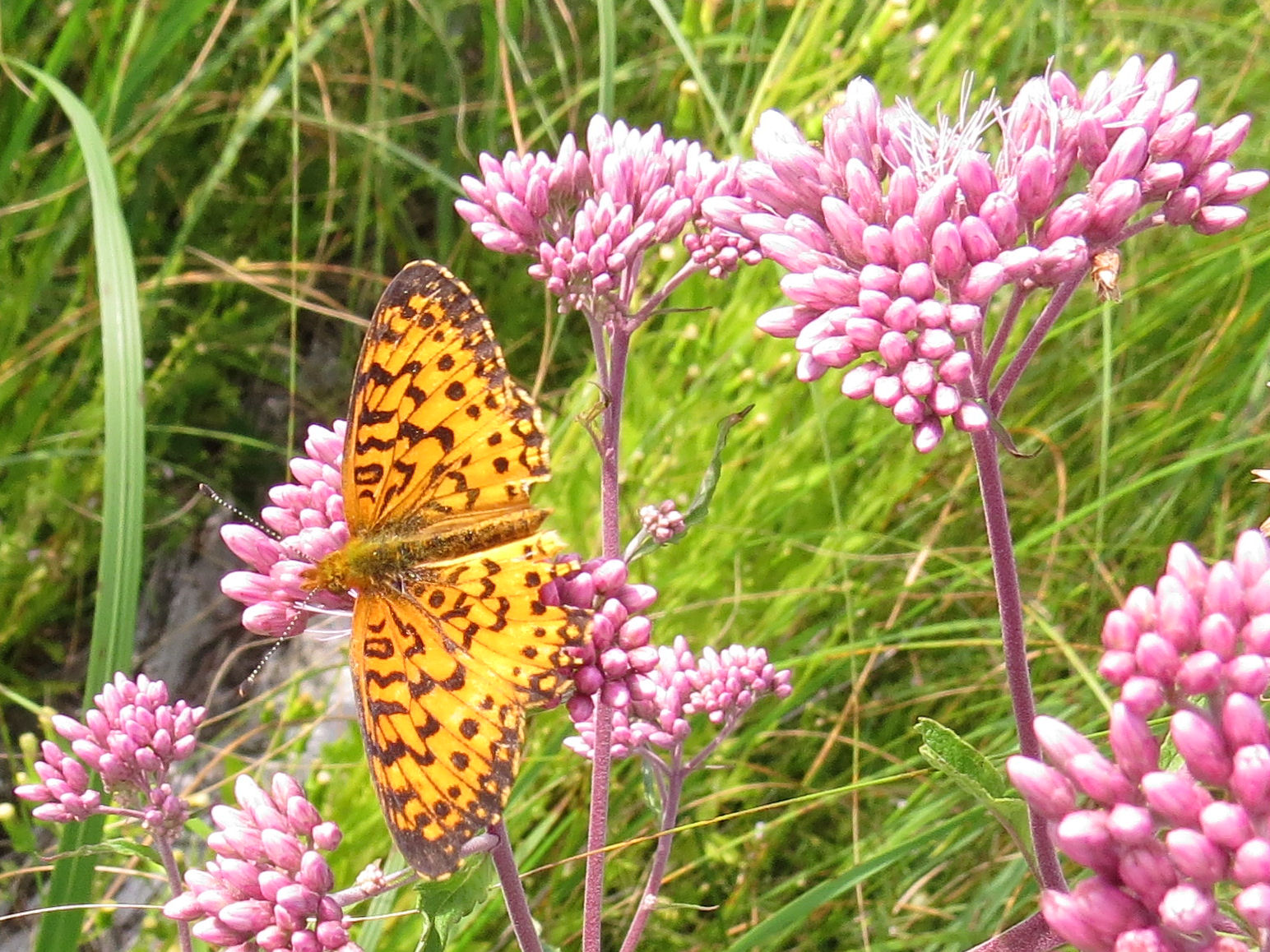 silver-bordered fritillary on Joe-Pye weed