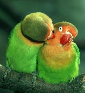 Burung Lovebird - Penjodohan Burung Lovebird Yang Baik Dan Ideal - Penangkaran Burung Lovebird