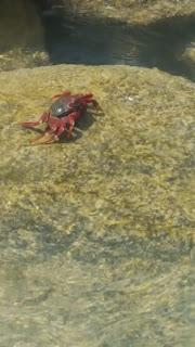 fuerteventura cangrejo