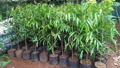 Jual Pohon Glodogan Tiang