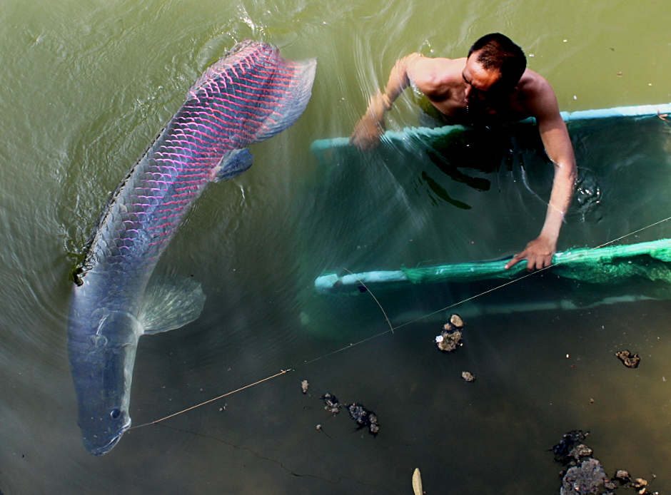 Unduh 6500 Gambar Ikan Arapaima Raksasa HD Terbaik