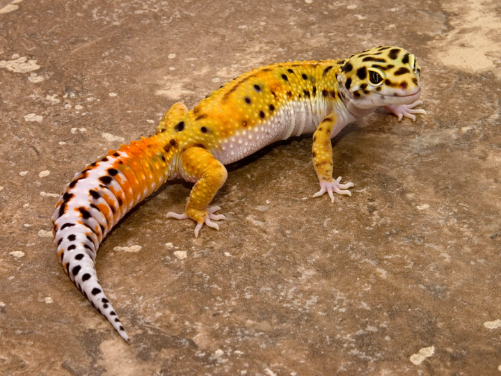 Gecko Pictures 71