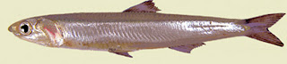 anchoa europea Boqueron Engraulis encrasicolus
