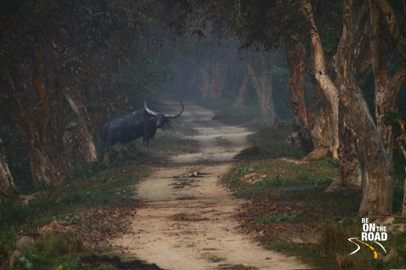 Wild Water Buffalo staring at me at Kaziranga National Park, Assam