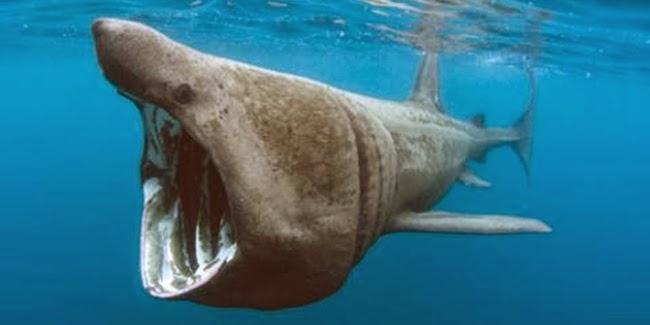 Basking Shark, ikan paus raksasa