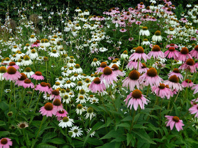 Toronto Botanical Garden White Swan purple coneflower Echinacea purpurea by garden muses-not another Toronto gardening blog