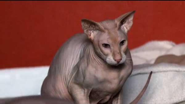 peterbald cat personality