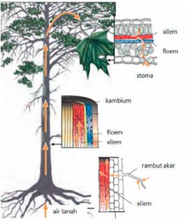 Sistem Transportasi Pada Tumbuhan