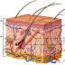 Mengenal Struktur Kulit Dan Ciri-cirinya