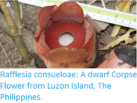 http://sciencythoughts.blogspot.co.uk/2016/02/rafflesia-consueloae-dwarf-corpse.html