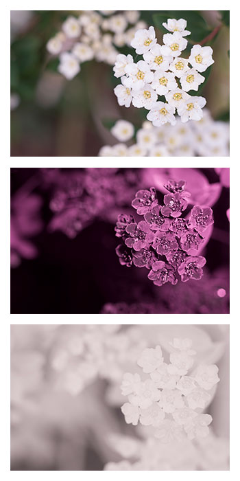 Flowers of a Spiraea sp. plant (possibly Spiraea nipponica or Spiraea × vanhouttei) photographed in visible light (top), ultraviolet (middle), and infrared (bottom)