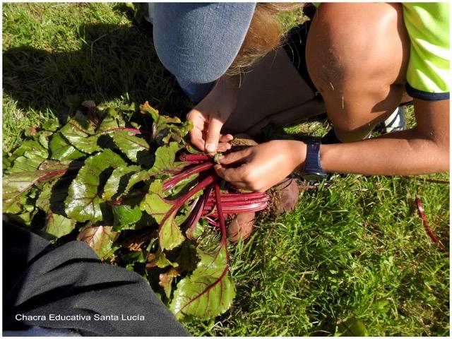 Anudando un atado de remolachas - Chacra Educativa Santa Lucía