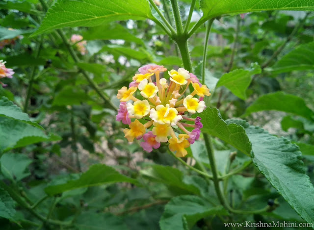 Image: Blooming Lantana Flower
