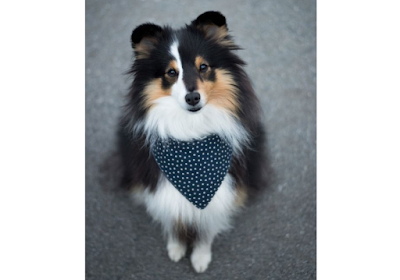 Beautiful Sheltie with cute bandana
