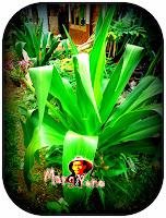 Tanaman Bunga Bakung (  lily ) Yang Terdampar ternyata banyak khasiatnya