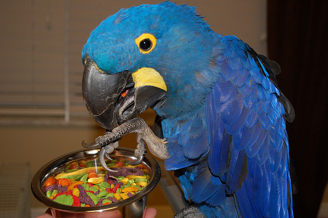 BIRDS FOR SALE IN THE UK: Pair of Hyacinth Macaws for Sale £460