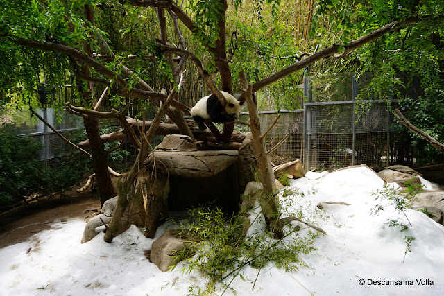 Panda Zoologico de San Diego