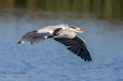 Grey Heron in Flight 2 / 4 : Woodbridge Island, Cape Town