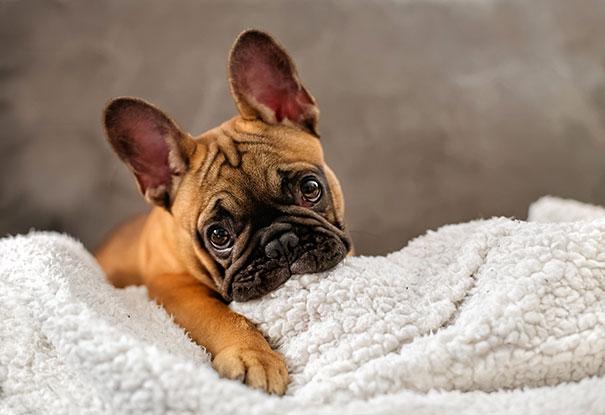 bulldog-puppy-cute-dog-photography-10