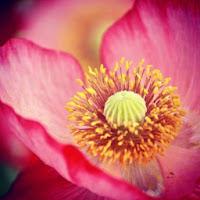Poppy Hot Pink
