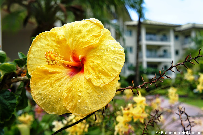 Marriott's Kauai Lagoons Yellow Hibiscus Hawaii