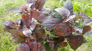 Military Mama Musings - Hypoestes phyllostachya - Polka Dot Plant