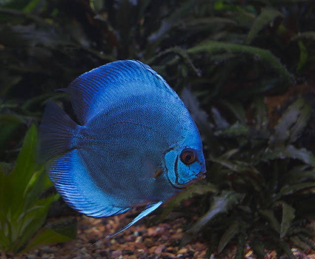 Dunia Ikan Hias - DISCUS ANGEL BLUE DIAMOND