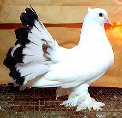 105+ Foto Gambar Burung Merpati Hias HD Paling Keren
