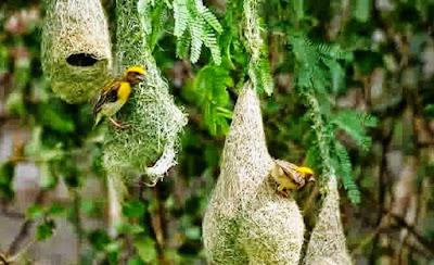 Melihat Bentuk Sarang Burung Manyar Di Alam Bebas