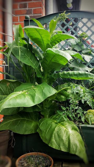 Tabakblätter ernten