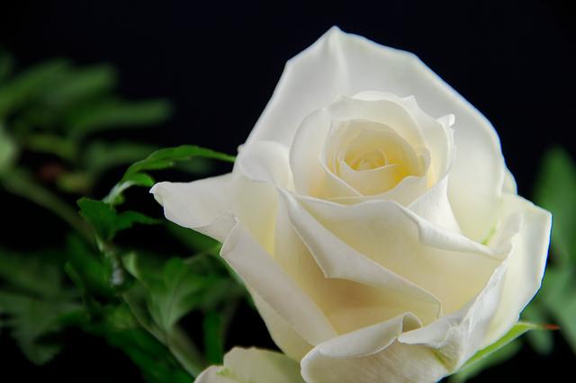 hoa hồng bạch đẹp nhất 6