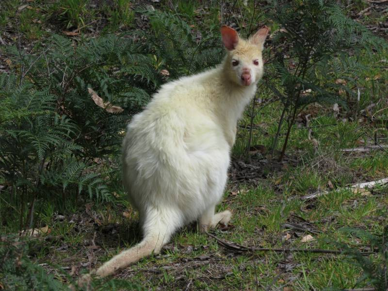 The Travelling Lindfields The White Wallabies Of Bruny Island