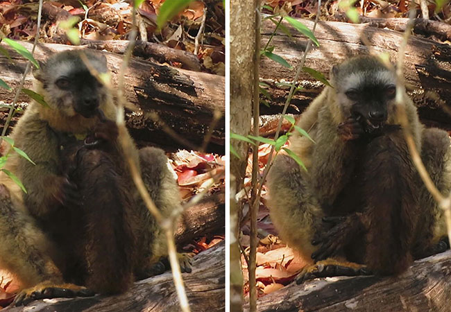 Penelitian Red-fronted lemurs (Eulemur rufifrons) uses millipede for self medication