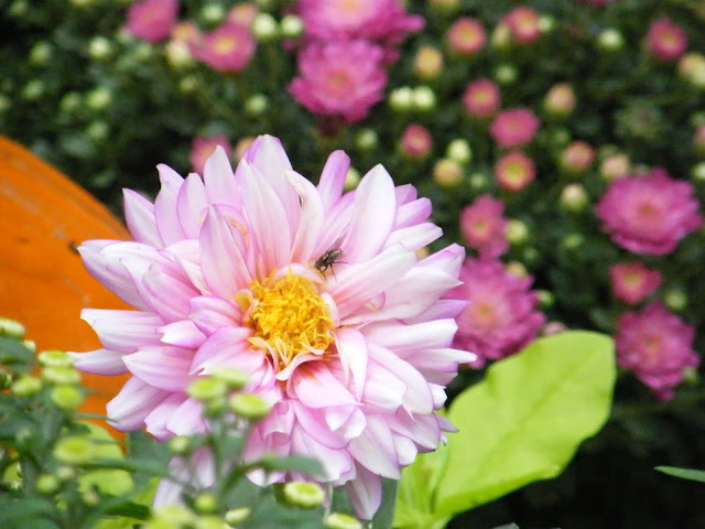 A fly buzzes about dahlias, mums and pumpkins.