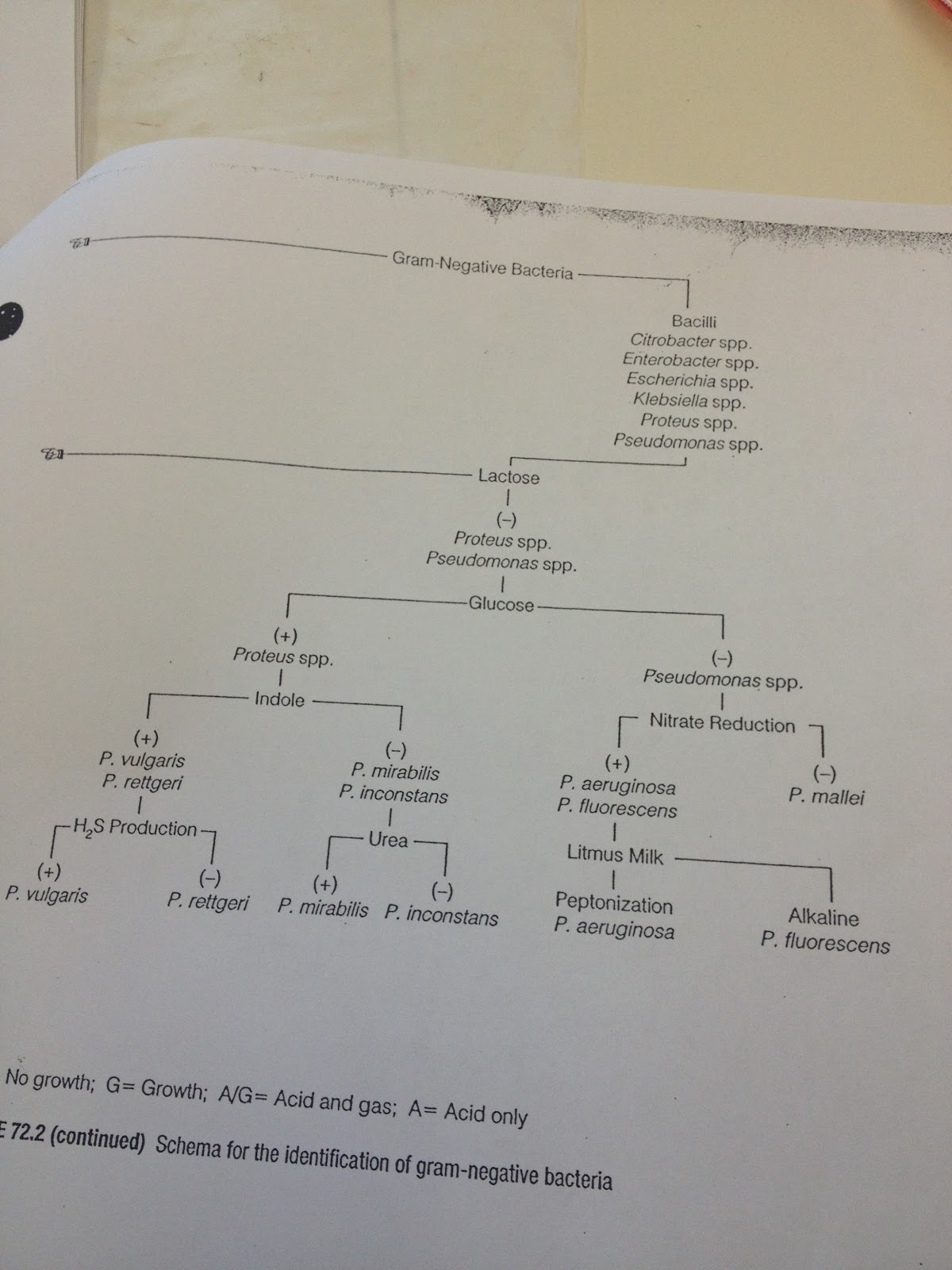Unknown Bacteria Identification Flow Chart
