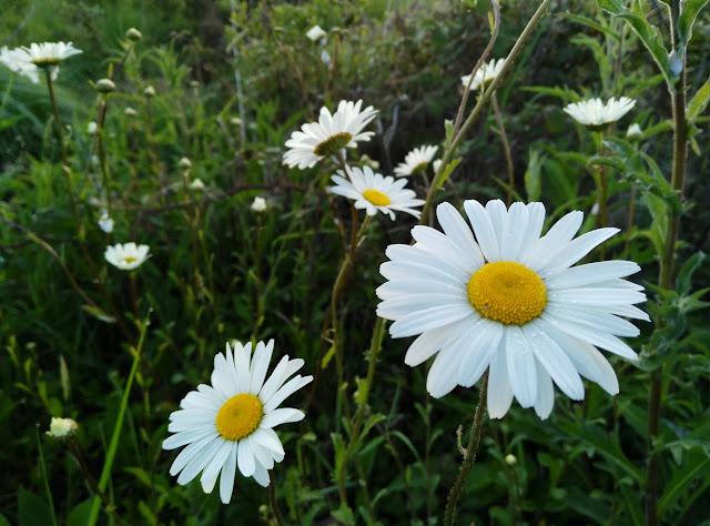 wild daisies, Galway Ireland, flowers