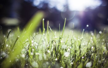 Wallpaper: Morning dew on the green grass