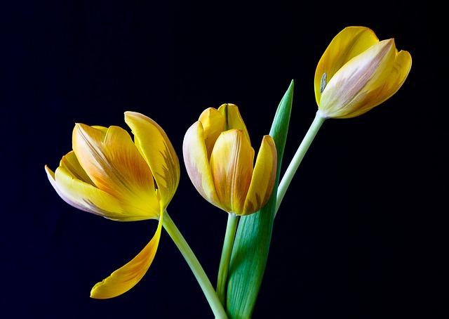 hoa tulip dep nhat 6