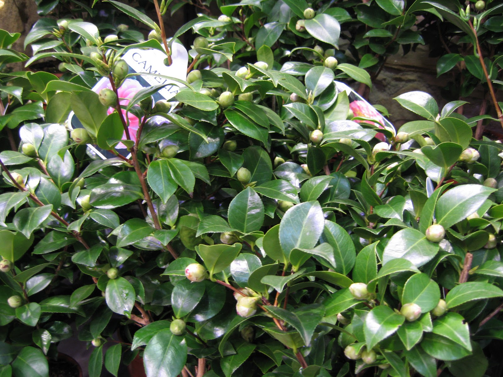 Le blog de clesa les cam lias for Arbuste persistant ombre le havre