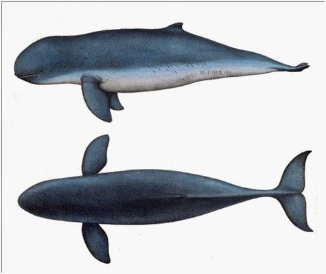 Download 64+ Gambar Ikan Pesut Terpopuler