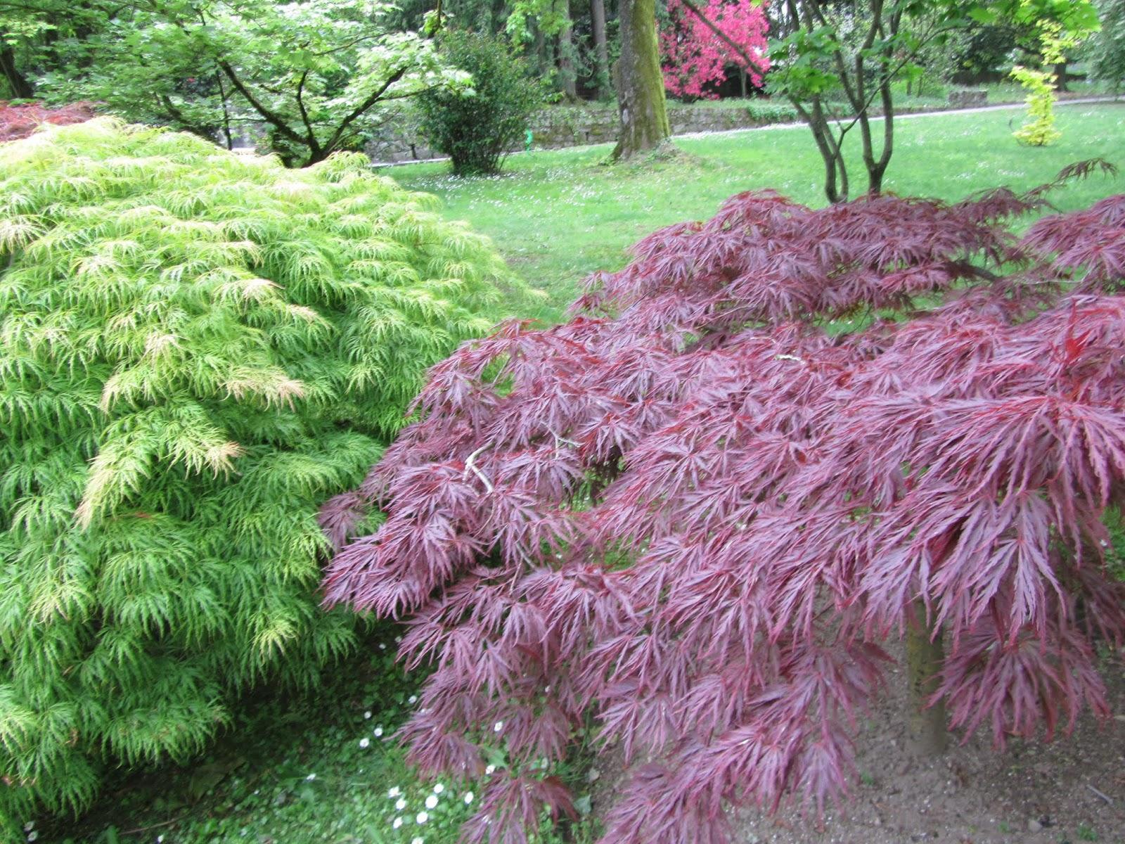 Acero Radici Invasive il gusto della natura: come coltivare l'acero giapponese