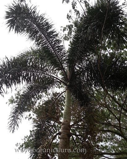 Wodyetia bifurcata, Foxtail Palm leaves