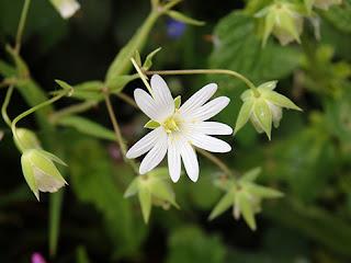 Estrellada (Stellaria holostea)