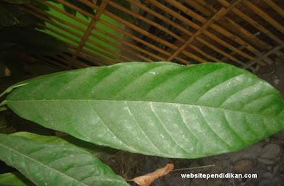 tulang daun kakao menyirip