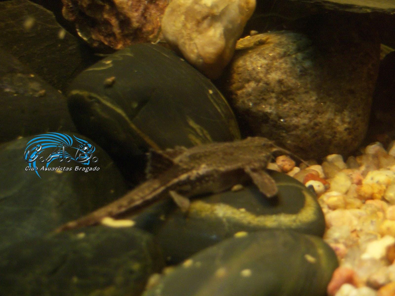 Club acuaristas bragado banjo redescubriendo un pez gato for Comida viva para peces