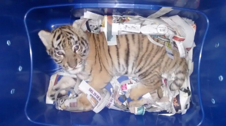Incredibile in Messico: Cucciolo di Tigre del Bengala trovato in un pacco spedizione